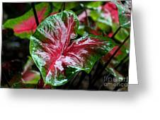 Shiny Caladium Greeting Card by Theresa Willingham
