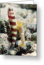 Shrimp Goby With Its Partner Shrimp Greeting Card by Georgette Douwma