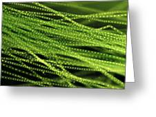 Spirogyra Algae, Light Micrograph Greeting Card by Jerzy Gubernator