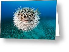 Spotted Porcupinefish Greeting Card by Dave Fleetham