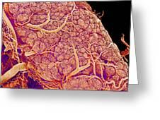 Thyroid Gland Blood Vessels, Sem Greeting Card by Susumu Nishinaga