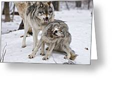 Timber Wolves In Winter Greeting Card by Michael Cummings