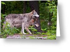 Timber Wolves Greeting Card by Michael Cummings