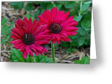 Two Zinnias In The Shade Greeting Card by Paula Tohline Calhoun
