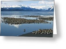 Western Sandpiper Calidris Mauri Flock Greeting Card by Michael Quinton