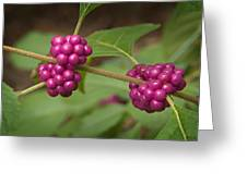 1109-6879 American Beautyberry Or French Mulberry Greeting Card by Randy Forrester