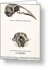 1851 Dinornis Moa Skull Discovery Greeting Card by Paul D Stewart