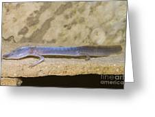 Austin Blind Salamander Greeting Card by Dante Fenolio