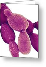 Candida Albicans Yeast, Sem Greeting Card by