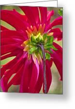 Dahlia (dahlia Cultorum) Greeting Card by Dr. Nick Kurzenko