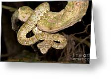Eyelash Viper Greeting Card by Dante Fenolio