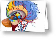 Human Brain Anatomy, Artwork Greeting Card by Roger Harris