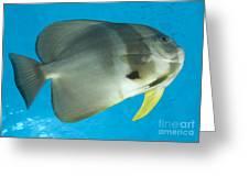 Longfin Spadefish, Papua New Guinea Greeting Card by Steve Jones