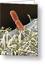 Shigella Bacteria, Sem Greeting Card by