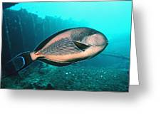 Sohal Surgeonfish Greeting Card by Georgette Douwma