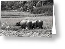 Water Buffalo Greeting Card by Jane Rix