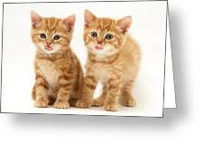 Kittens Greeting Card by Jane Burton