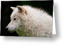Arctic Wolf Greeting Card by Michael Cummings