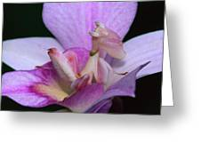 Orchid Mantis Hymenopus Coronatus Greeting Card by Thomas Marent