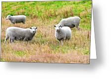 Sheeps Greeting Card by MotHaiBaPhoto Prints