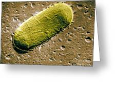 Tuberculosis Bacillum Greeting Card by Science Source