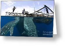 Whale Shark Feeding Under Fishing Greeting Card by Steve Jones
