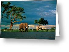 African Elephant Loxodonta Africana Greeting Card by Beverly Joubert