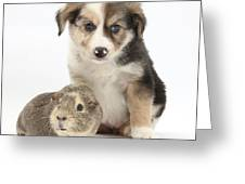 Border Collie Pup And Guinea Pig Greeting Card by Mark Taylor