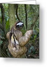 Brown-throated Three-toed Sloth Greeting Card by Suzi Eszterhas