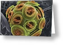 Calcareous Phytoplankton, Sem Greeting Card by Steve Gschmeissner