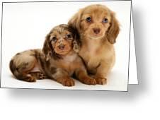 Dachshund Pups Greeting Card by Jane Burton