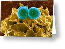 Methicillin-resistant Staphylococcus Greeting Card by Science Source