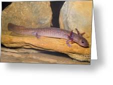 Spring Salamander Greeting Card by Dante Fenolio
