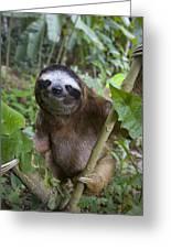 Brown-throated Three-toed Sloth Greeting Card by Suzi Eszterhas