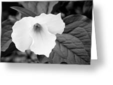 Wild Trillium Greeting Card by The Trillium Guy