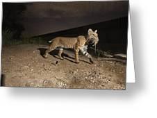 A Bobcat Crosses A Rio Grande Border Greeting Card by Joel Sartore