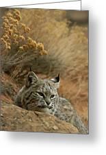 A Bobcat Greeting Card by Norbert Rosing