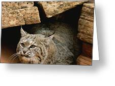 A Bobcat Pokes Out From Its Alcove Greeting Card by Norbert Rosing