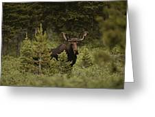 A Bull Moose Stops For A Photograph Greeting Card by Raymond Gehman