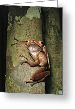 A Collets Tree Frog Rhacophorus Colleti Greeting Card by Tim Laman