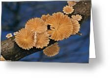 A Common Split Gill Mushrooms Sit Greeting Card by Darlyne A. Murawski