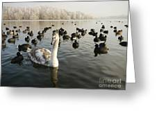 A Cygnets First Winter Greeting Card by John Chatterley