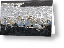 A Flock Of Gannets Standing On A Rock Greeting Card by John Short