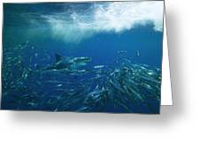 A Great White Shark Swims Close Greeting Card by Mauricio Handler