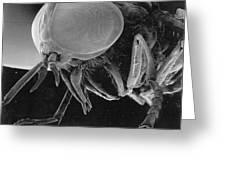 A Greenhead Fly Tabanus Nigrovittatus Greeting Card by Darlyne A. Murawski