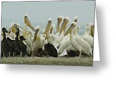 A Group Of Eastern White Pelicans Greeting Card by Klaus Nigge