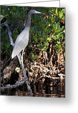 A Heron Type Bird In The Mangroves Greeting Card by Judy Via-Wolff