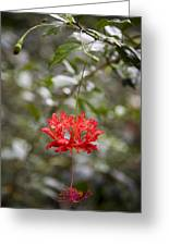 A Hibiscus Schizopetalus Flowers Greeting Card by Taylor S. Kennedy