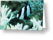 A Humbug Dascyllus Fish Swims Greeting Card by Tim Laman