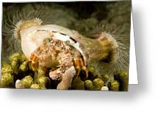 A Large Hermit Crab With Sea Anemones Greeting Card by Tim Laman